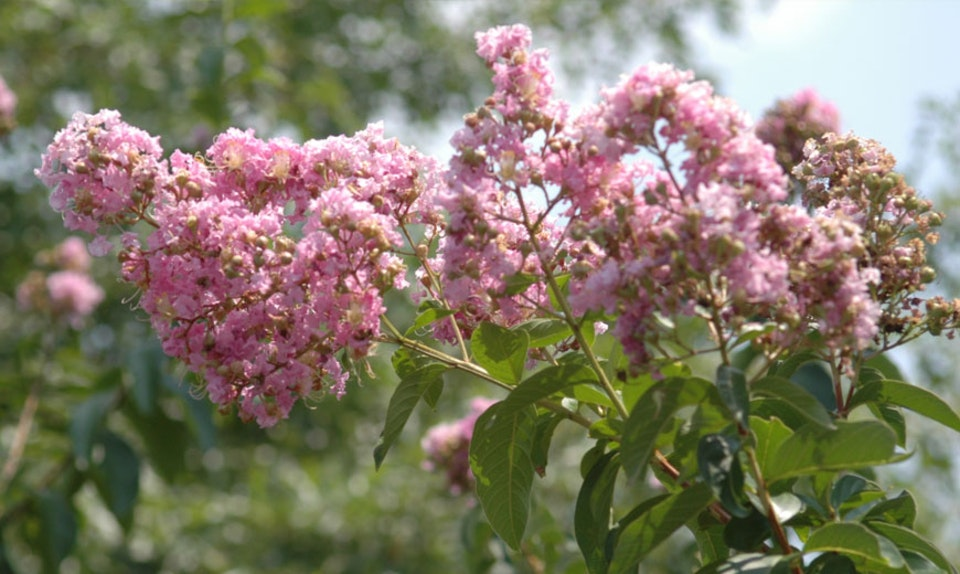 About Flowering Trees