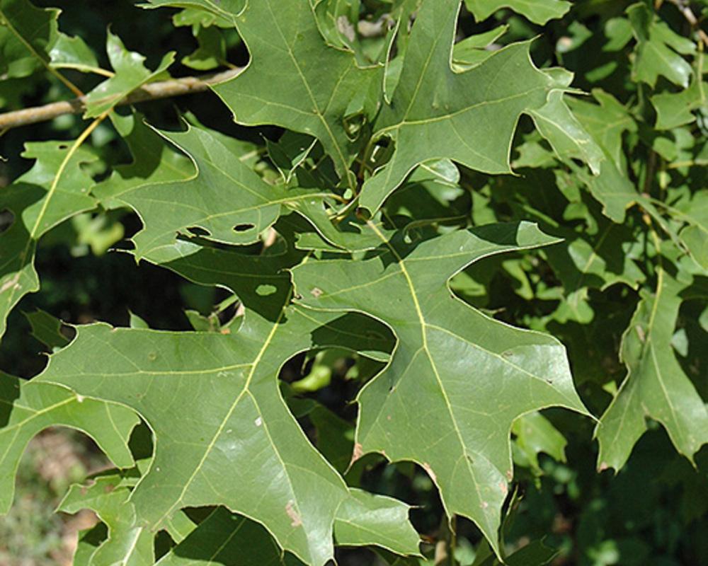 Quercus nuttallii